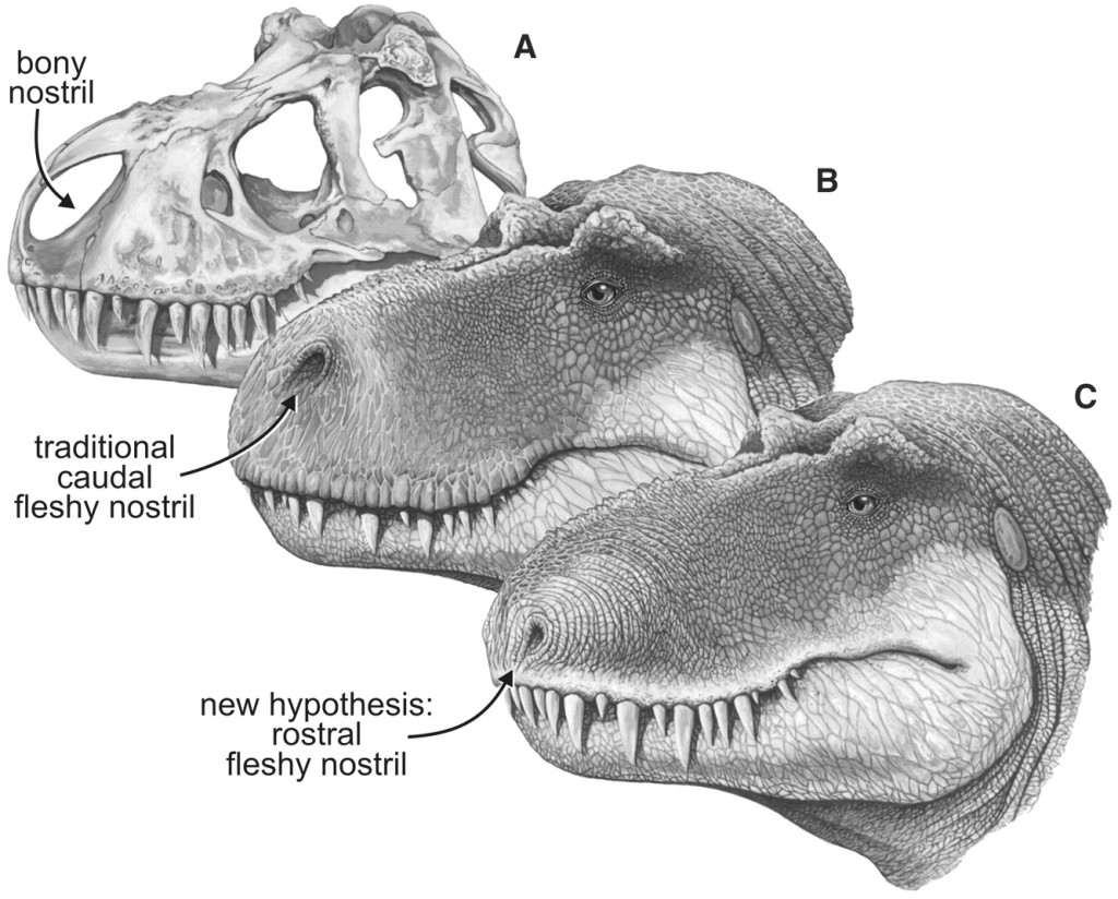 Skull and fleshed-out restorations of the head of the nonavian theropod dinosaur, Turannosaurus, rex, in left rostrodorsolate ral view showing the bony nostril and varying views of the position of the fleshy nostril. (A) Skull, showing the bony nostril; note also the narial fossa on the bone's adjacent to the opening. (B) Head showing the caudal position of the fleshy notril typically depicted in most scientific and popular restorations. (C) Head showing the nostral position of the fleshy notril supported by the data presented here. From Science  3 August, 2001 (click to enlarge).