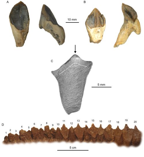 Ceratopsidae, a family of thick-skulled, horned dinosaurs, including the well-known Triceratops, had teeth that functioned as shears, suggesting that they consumed particularly tough plants